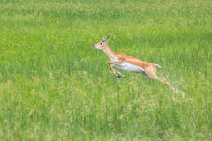 Black buck in Velavadar Nature Reserve, India Royalty Free Stock Photos