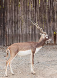 Black buck walking Stock Photo