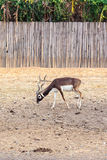 Black buck walking vertical Royalty Free Stock Photos