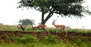 Black bucks. This picture is shot in Rehkuri sanctuary of Maharashtra state of India Stock Photo