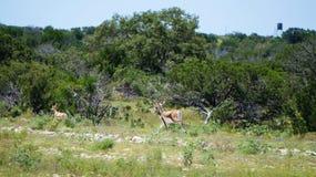 Black Bucks. Beautiful black bucks running in the wild royalty free stock photos