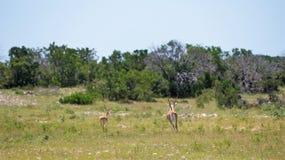 Black Bucks. Beautiful black bucks running in the wild stock images
