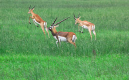 Black bucks grazing in meadows Stock Images