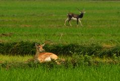 Black bucks on meadow. Black bucks in diffrent moods at ganjam,Orissa royalty free stock photo