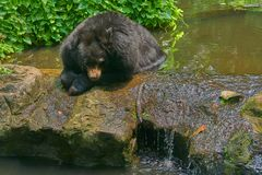 Black buffalo bear lie head down on pond with sun light. Feel thirsty or hot Stock Images