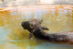 Black Buffalo enjoy water and chew cud Royalty Free Stock Photos