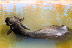 Black Buffalo enjoy water and chew cud Stock Photography