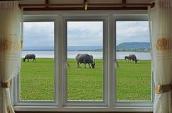 Black buffalo herd in white window view. Black buffalo herd on green grass beside the lake in white window view stock photos