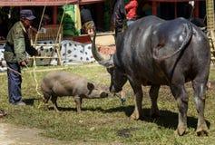 Black buffalo with pig at funeral ceremony. Tana Toraja Stock Photos