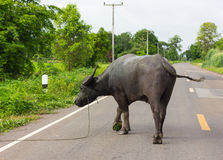 Black buffalo on the road. Royalty Free Stock Images