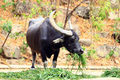 Black Buffalo. Buffalo is  ruminant mammalian families полорогих of detachment Artiodactyla Stock Image
