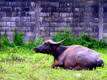 Black buffalo sitting. Royalty Free Stock Photo
