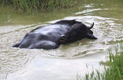 Black buffalo in small pond Royalty Free Stock Images