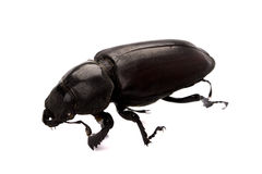 Black bug Stock Image