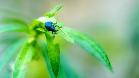 Black Bug Animal On Green Leaf royalty free stock images