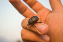 Black bug beetle walking on a hand palm with nature background.  Royalty Free Stock Image