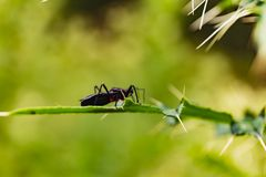 Black bug crawls on green thorny plant. stock photography