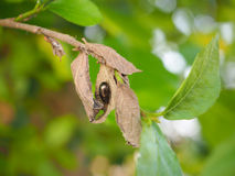 Black bug on dried and withered leaf Royalty Free Stock Photo