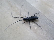Black bug with feelers Royalty Free Stock Photos