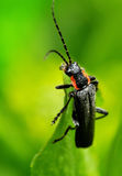 Black bug on green Royalty Free Stock Image