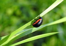 Black bug on green grass, Lithuania Royalty Free Stock Photos