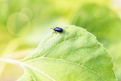 Black bug on green leaf. Nice black bug on green leaf at summer day Stock Photos