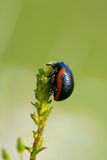 Black bug on a green plant leaves Royalty Free Stock Photography