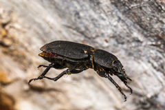 Black bug hanging in air Stock Photo