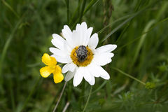 Black bug on a marguerite daisy. A black with white bug sitting on a beautiful marguerite daisy flower's disk (Argyranthemum frutescens Stock Images