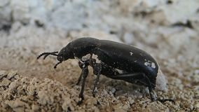 Black bug moving stock video footage