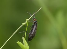 Black bug on a stalk Royalty Free Stock Photography