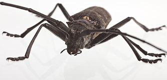 Black bug on a white background. Black bug creeps on a white background Royalty Free Stock Photo