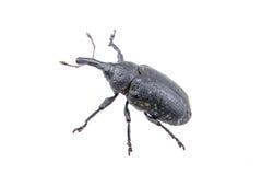 Black bug on a white background Stock Image