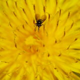 Black bug on yellow flower Stock Photo