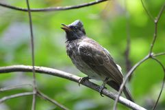 Black Bulbul Bird. A Black Bulbul Bird in a garden Stock Photos