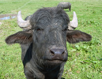Black bull Stock Photos