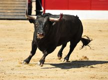 Black bull in arena. A black bull on the bullfighting ring in Spain Royalty Free Stock Images