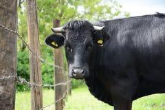 Black Bull. Beautiful Polish cows and bulls on a green field Royalty Free Stock Image