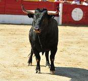 Black bull in bullfighting ring Royalty Free Stock Images