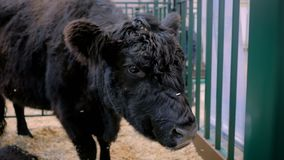 Black bull eating hay at agricultural animal exhibition