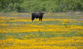 Black bull in a field of flowers. A black bull stands in a field of yellow and blue flowers.  Taken near Corpus Christi, Texas Royalty Free Stock Photos