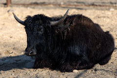 Black bull lying in sand. In the sun Royalty Free Stock Photo