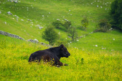 A black bull at Mahlam, Yorkshire Dales. England Royalty Free Stock Photo