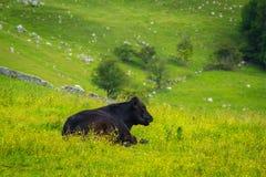 A black bull at Mahlam, Yorkshire Dales Royalty Free Stock Photo
