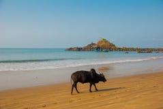Black bull is on the Om beach. Gokarna, Karnataka, India. Beautiful beach with rocks and blue sea. Om beach, Gokarna, Karnataka, India Royalty Free Stock Photos