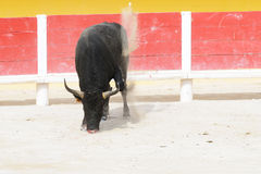 Black bull pawing up dust in a bullring Royalty Free Stock Photo