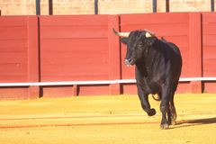 Black bull running. Black bull running and ready for bullfight Royalty Free Stock Images