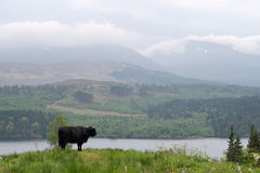 Black bull in Scotland Stock Photos