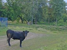 A black bull stands on a village road royalty free stock photo