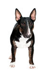 Black bull terrier dog  Stock Image